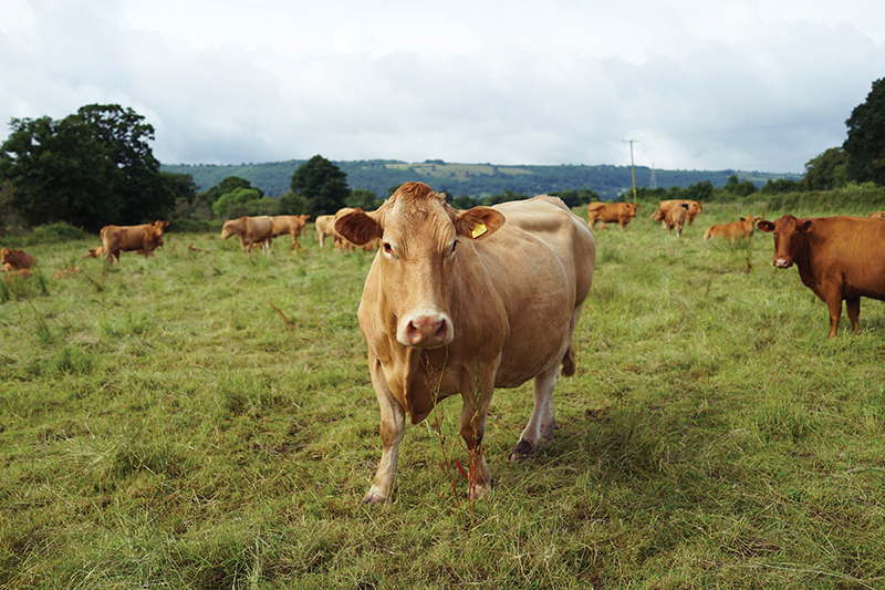 Grass fed beef at Story Organic Farm in Somerset