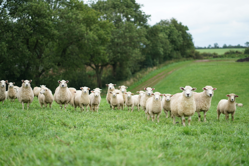 Are you looking at me? Ewes before their summer shear at Fernhill Farm in the Mendip Hills