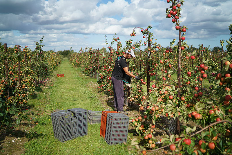 One of the many english apple orchards at Brogdale Fine Fruits in Faversham, Kent