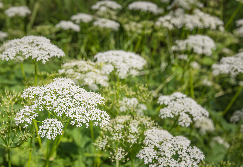 wild chervil, guide to wild food and foraging
