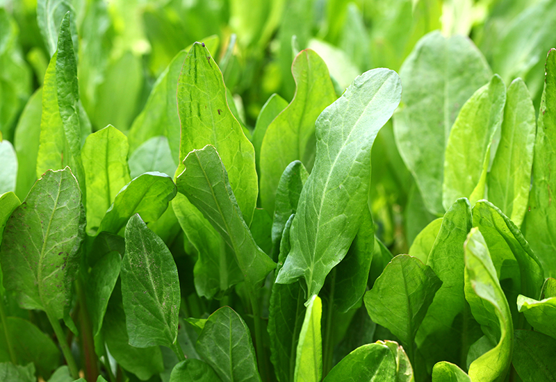 wild sorrel, guide to wild food and foraging