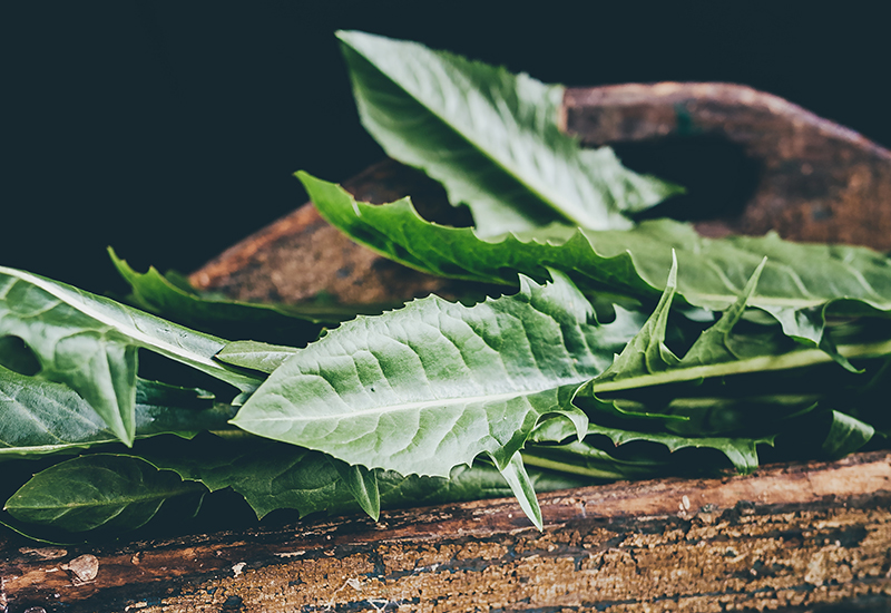 dandelion leaves, guide to wild food and foraging