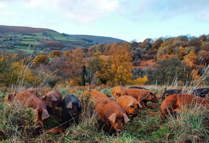 Woodland-raised rare breed pigs at Forest Coal Pit