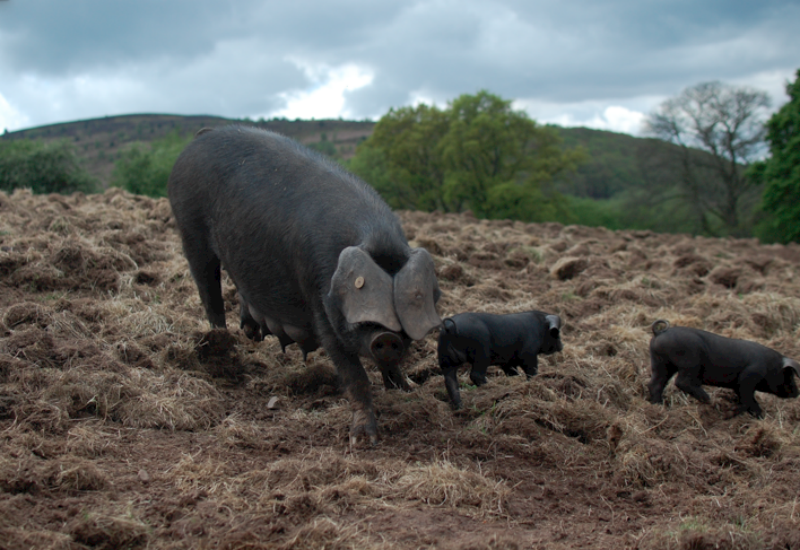 Large Black pigs at Forest Coal Pit Farm
