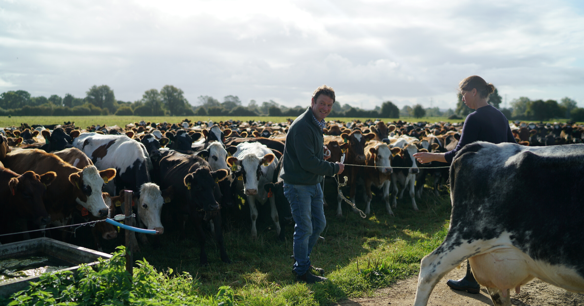 Picture of an organic dairy farm, moving the herd into a different field.